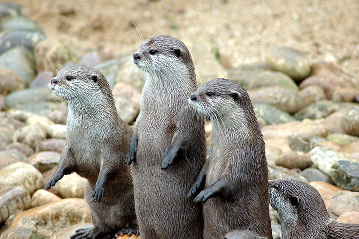 london zoo youtube livestream 1024px otters in a row