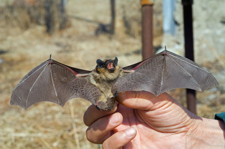 ebola map machine learning bats 17048390  a close up of the small bat in human hand