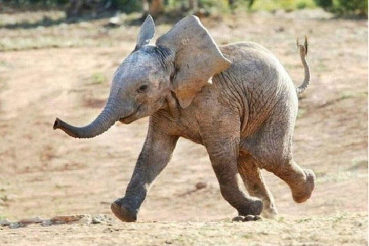 wwf keeps elephants safe by scaring the bejeezus out of them with drones baby elephant