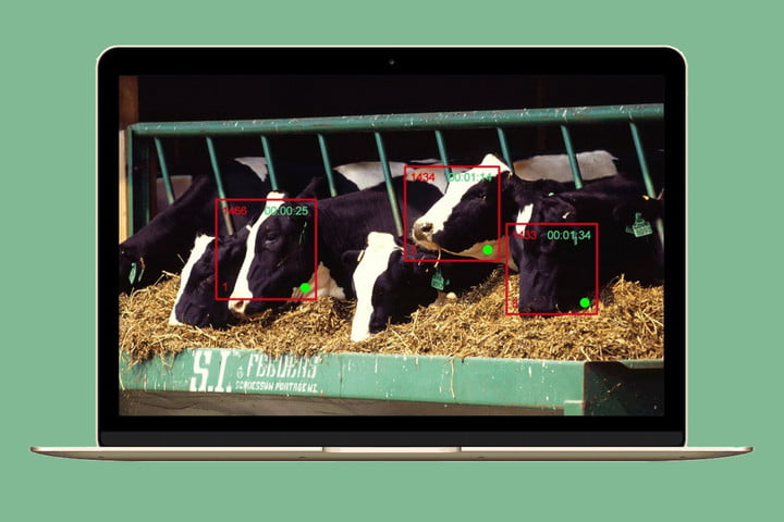 facial recognition on cows for healthy dairy cargill cainthus predictive imaging