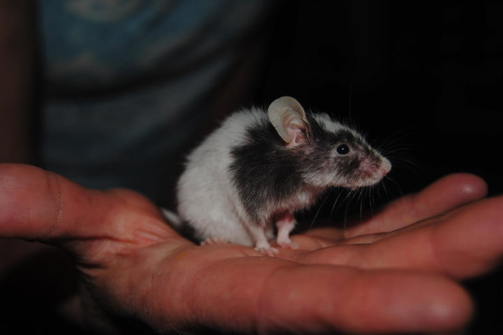 genetically modified mice sniff out explosives diseases dbca09ea 50ee 44a9 be74 747a215ea5ee