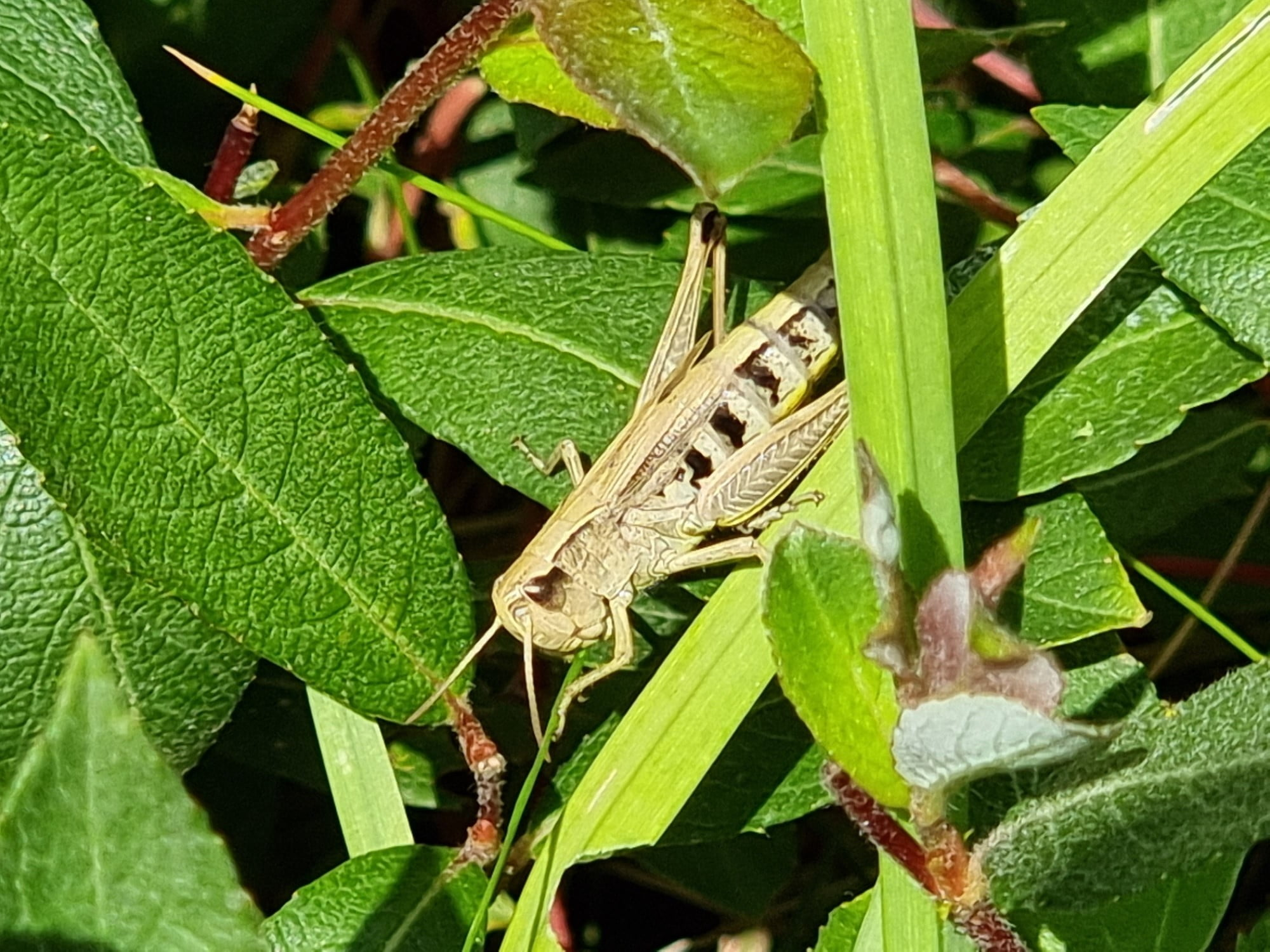 Photo of a grasshopper taken with the Galaxy S21 Ultra.