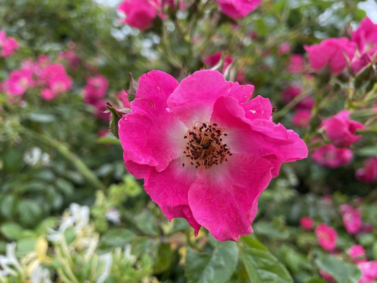 Photo of a pink flower taken with the iPhone 12 Pro
