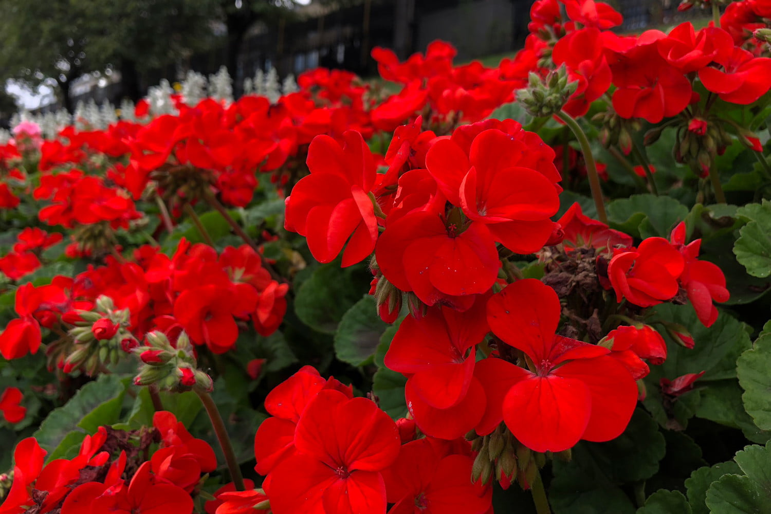 Apple iPhone 8 reviews camera sample red flowers