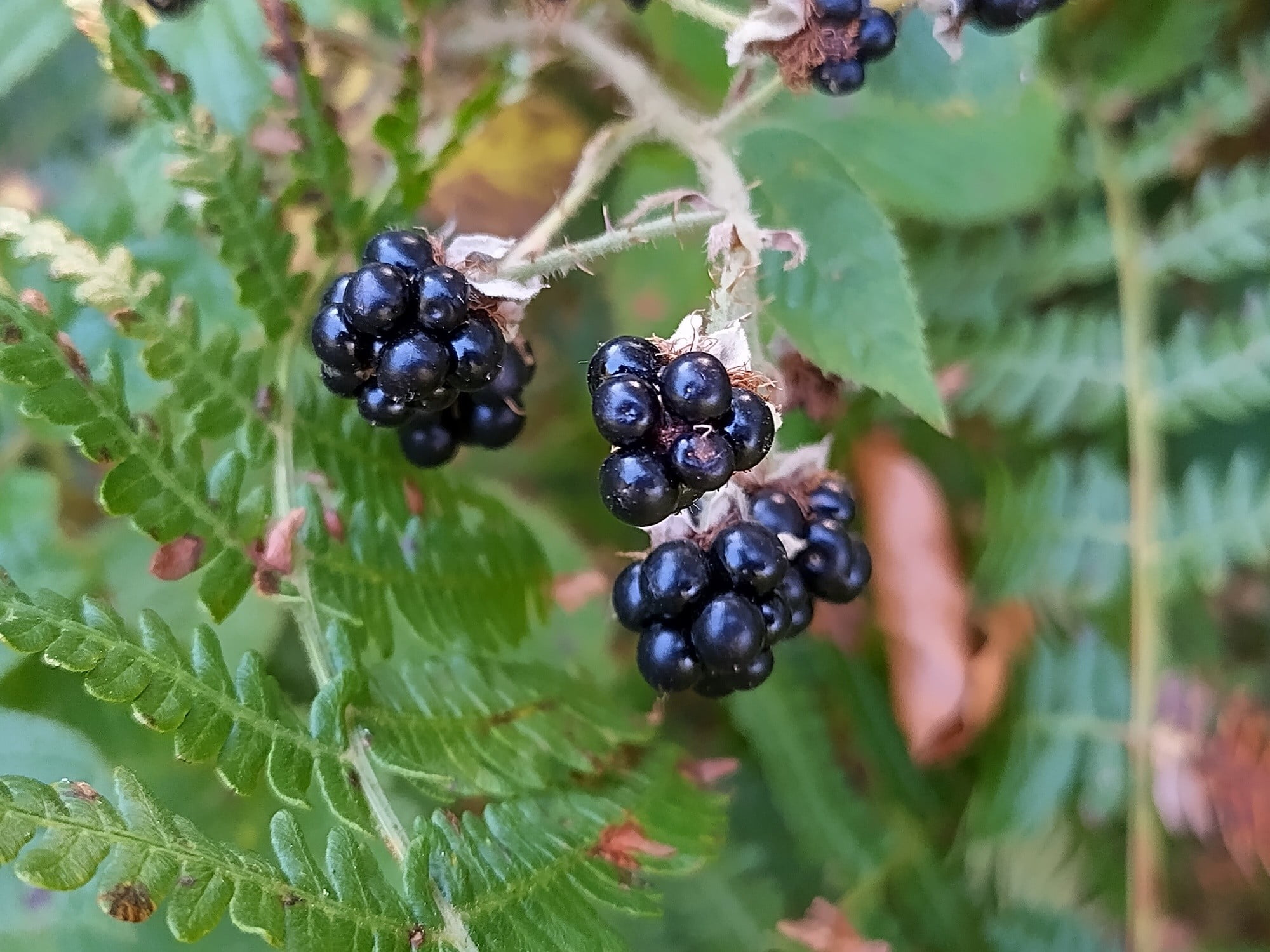Photo of blackberries taken with the Nokia XR20.