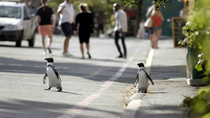The Penguins of Penguin Town