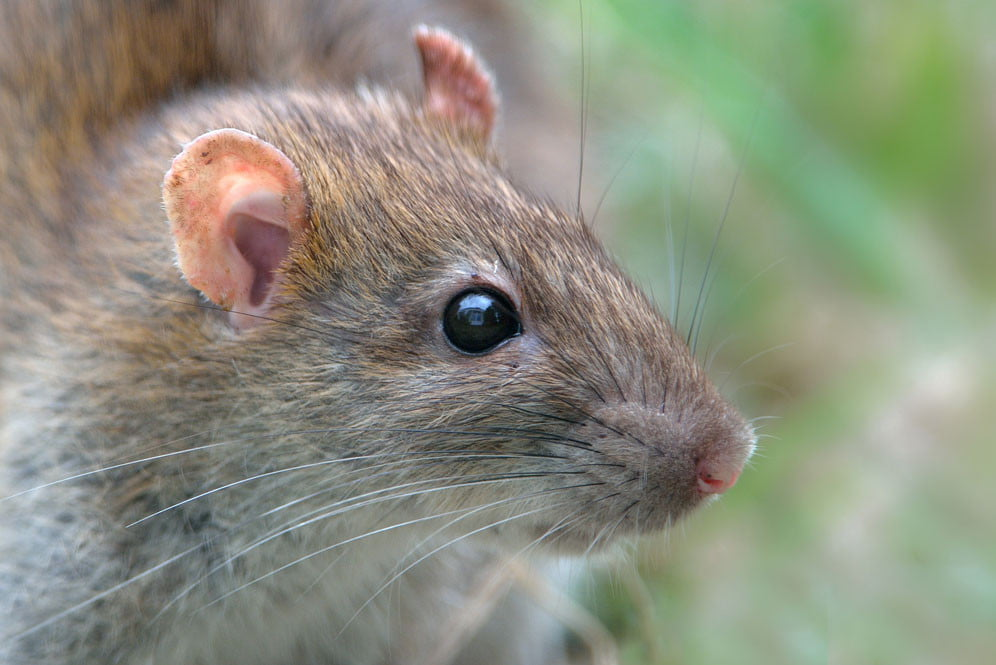 a rat up close and personal