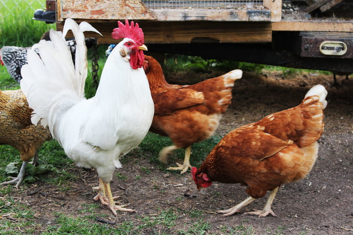 love chicken then you may not oxfams hard hitting lives on the line campaign rooster 1001892 1920
