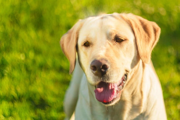 police dog thoreau golden lab helps combat child porn trained to sniff out hard drives shutterstock 179865071