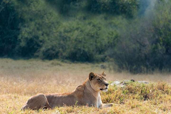 natgeo leading social brand toms and national geographic lend a paw to big cats